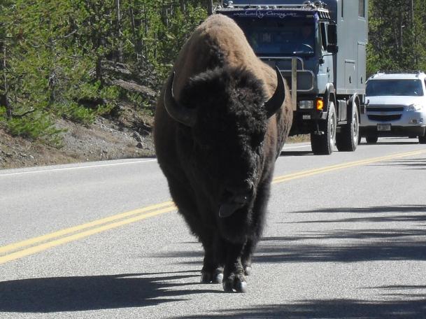 Mr. Stubborn Buffalo