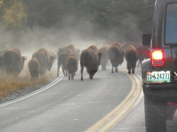 Morning traffic Jam in Yellowstone