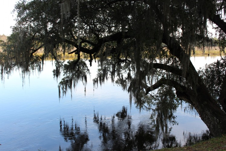 Oak over the Ashley River. The hanging stuff is Spanish Moss. It will grow on anything.