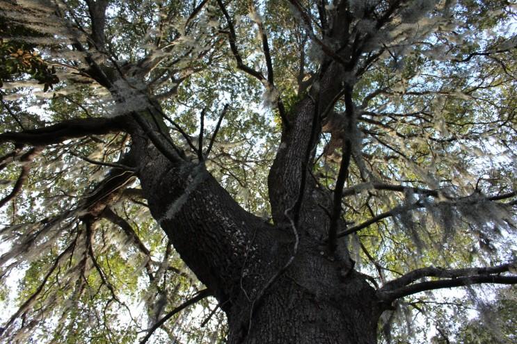 Huge Oak