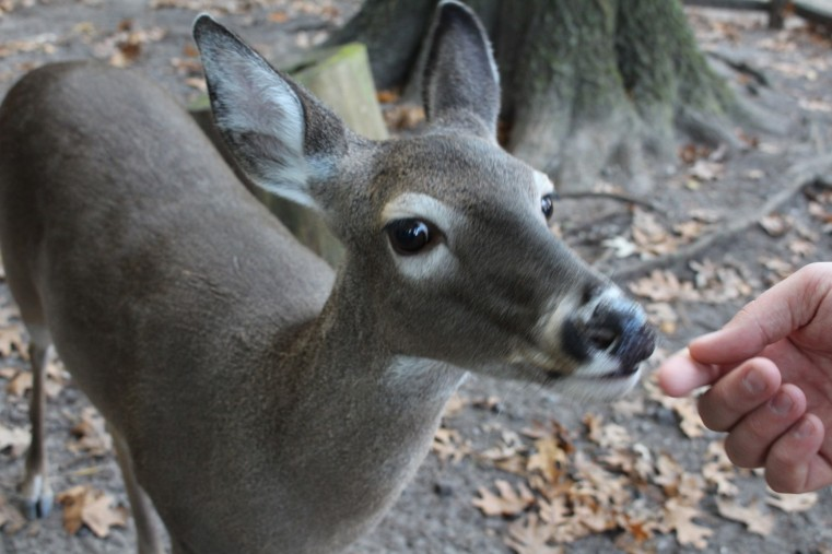 Deer that are not afraid of people.