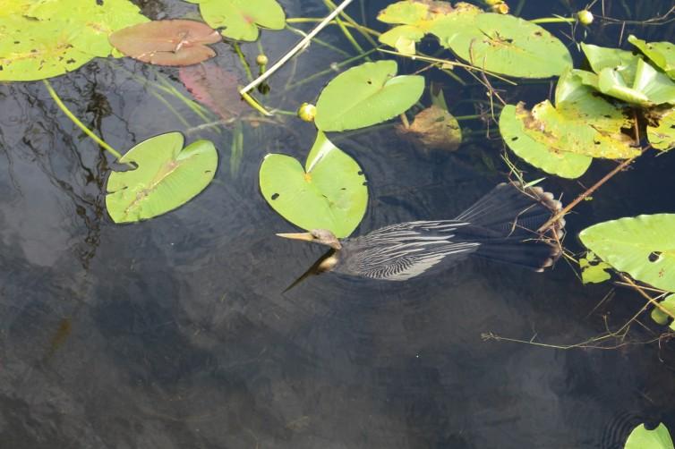 Anhinga Hunting / Swimming
