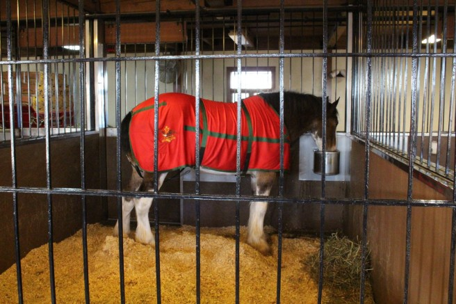 Budweiser Clydesdale. These horses are massive