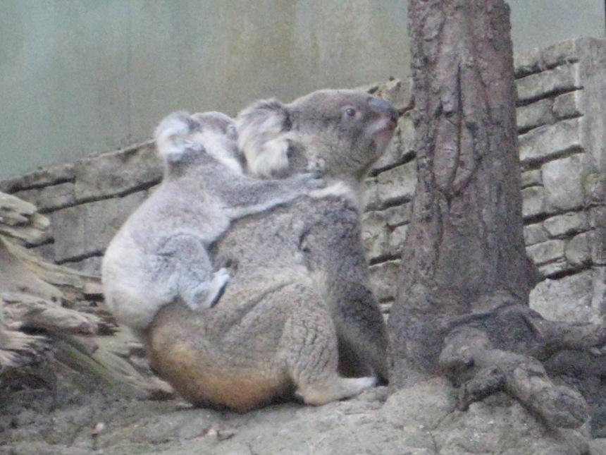 Baby Koala with mom