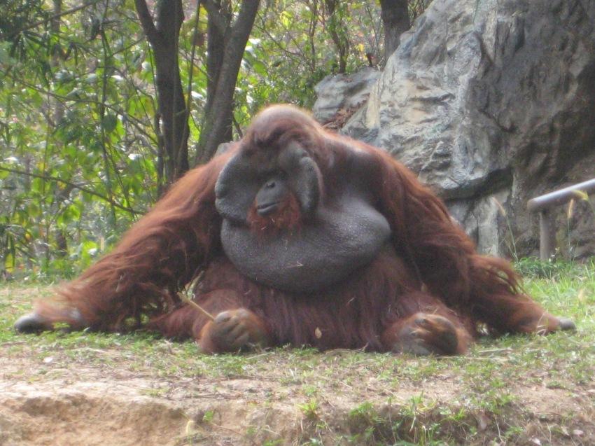Mr. Orangatang