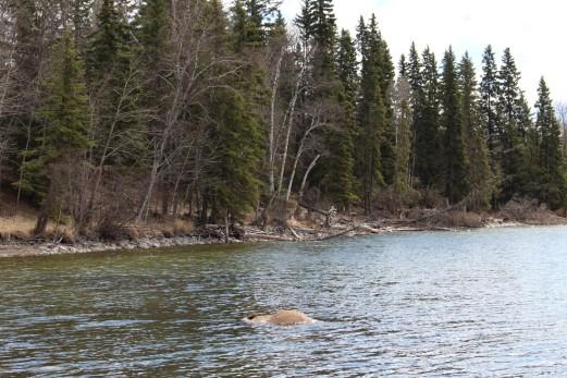 A drowned Elk