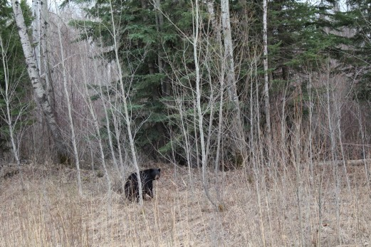 However, we were rewarded for taking the back road with a black bear sighting.
