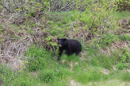 And another bear on the way back. This guy was alone and smaller. Maybe a 1 year old on his own now?