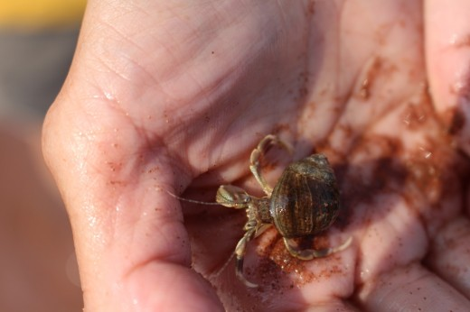 Canoe Cove is home to a large population of hermit crabs