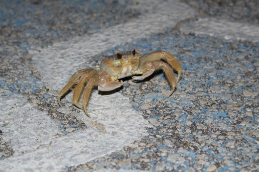 These crabs are unbelievably fast.