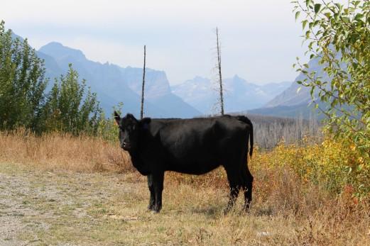 Montana Cow